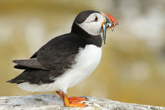 Puffin with fish in its beak Stock Image