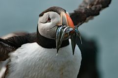 Puffin with fish. Puffin with fish in its bill. It are funny birds with their characteristic bill and eyes. The color of the eyes is magnificent Royalty Free Stock Photo