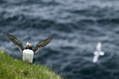 Puffin Flapping it's Wings on Papey Island in Iceland Royalty Free Stock Images