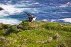 Puffin flapping wings. Cute Atlantic Puffin spreading wings, Shetland Islands, UK Stock Photo