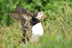 Puffin flapping wings Stock Photography