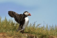 Puffin flapping wings Stock Images