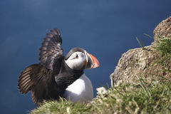Puffin flapping wings. North Atlantic puffin stretching wings taken at Latrabjarg Iceland Royalty Free Stock Photography