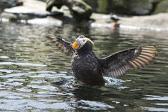 Puffin flaps its wings. Stock Photography