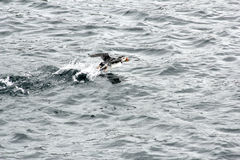 Puffin in Flight. A cute puffin taking off from t he water Royalty Free Stock Photos