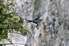 Puffin in flight. A puffin just leaving its nest hole in the cliff Royalty Free Stock Photos