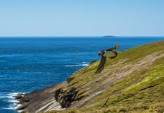 A Puffin in flight above Skomer Island, Wales stock photo