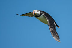 Puffin in flight Stock Photos