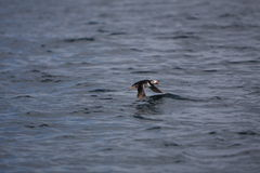 Puffin in Flight. Over Calm Ocean Royalty Free Stock Image