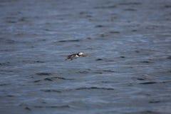 Puffin in Flight. Over Calm Ocean Stock Photos