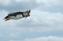 Puffin in flight with sand eels Royalty Free Stock Photography
