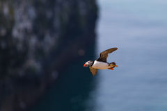 Puffin In Flight Stock Images