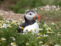 Puffin in flowers Stock Images