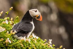 Puffin in flowers Stock Photo