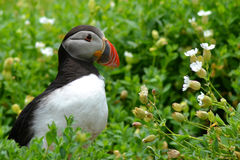 Puffin and flowers Stock Images