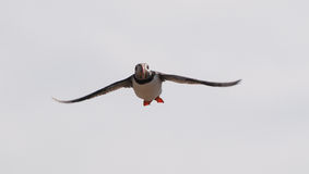 Puffin flying Stock Photography