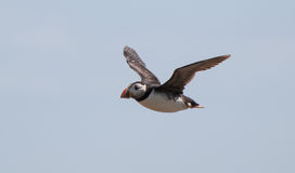 Puffin flying Royalty Free Stock Photo