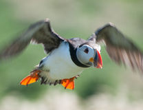 Puffin flying Royalty Free Stock Photography