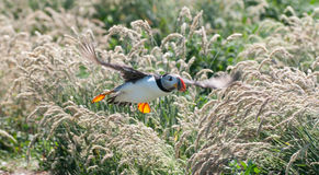 Puffin flying Stock Images