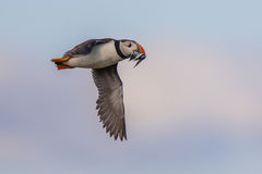 Puffin flying fish Royalty Free Stock Image