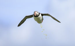 A Puffin flying Stock Image