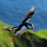 Puffin flying (fratercula arctica). Puffin flying outdoor (fratercula arctica stock image