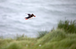 Puffin Flying Off Cliff Royalty Free Stock Image