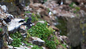 Puffin Flying Off Cliff Royalty Free Stock Photo