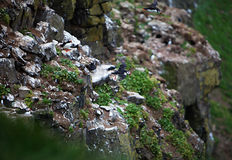 Puffin Flying Off Cliff Stock Photography