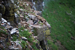 Puffin Flying Off Cliff Royalty Free Stock Images