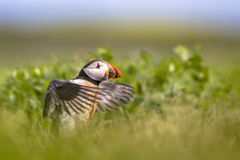 Puffin flying off. Young Puffin training it wings before first flight near nesting burrow royalty free stock images