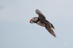 Puffin flying with sandeels Royalty Free Stock Photo