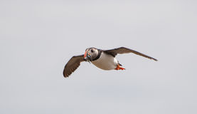 Puffin flying with sandeels Stock Photos