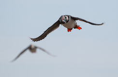 Puffin flying with sandeels Royalty Free Stock Images