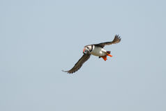 Puffin flying with sandeels Stock Photography