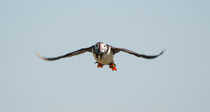Puffin flying with sandeels Stock Image