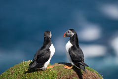 Puffin Fratercula arctica Royalty Free Stock Photo