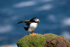 Puffin Fratercula arctica Royalty Free Stock Photos