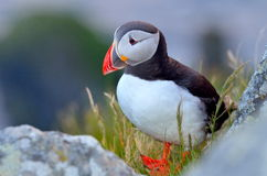 Puffin (fratercula arctica) Stock Photography