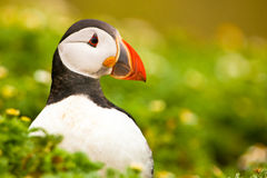 Puffin (Fratercula arctica). Amongst the vegetation royalty free stock photos