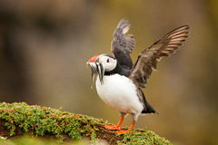 Puffin (Fratercula arctica). With sand eels just landed stock photo