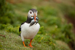 Puffin (Fratercula arctica). With sand eels on it's way to feed young royalty free stock photography
