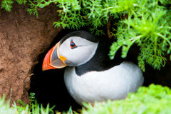Puffin (Fratercula arctica). Emerging from burrow stock photo