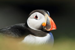 Puffin (Fratercula arctica). A close up of a north atlantic puffin royalty free stock image