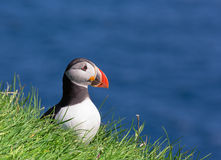 Puffin, Fratercula arctica Royalty Free Stock Image