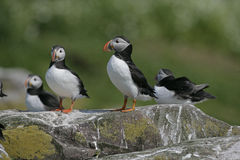 Puffin, Fratercula arctica Royalty Free Stock Photography