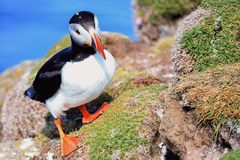 Puffin, fratercula arctica in Iceland - Photo - Image. Cute Common Puffin, Fratercula arctica walking on the grass. - Image - Photo royalty free stock photo