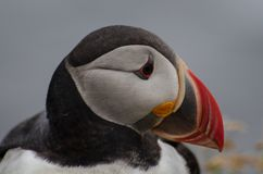 Puffin Fratercula arctica - Látrabjarg Iceland, August 2018 royalty free stock image