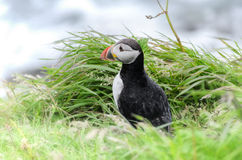 Puffin (Fratercula arctica). Portrait of a puffin on Staffa Island (Scotland stock photos