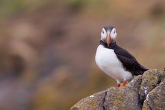 Puffin ( Fratercula arctica ) on a rock Stock Photos